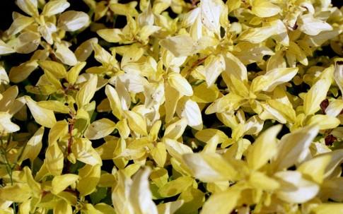 Goldmajoran (Pflanze)