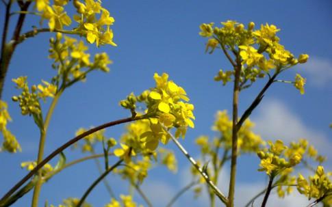 Türkische Rauke (Pflanze)