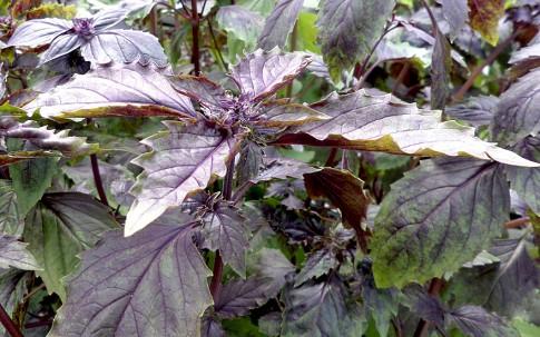 Basilikum 'Aromatto' (Saatgut)