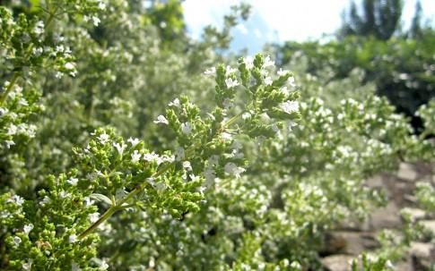 Griechischer Oregano, weiß (Pflanze)