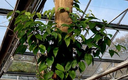 Chinesischer Fieberwein (Pflanze)