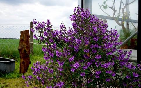 Minzestrauch, lila blühend (Pflanze)