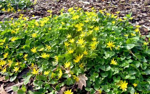 Scharbockskraut (Pflanze)