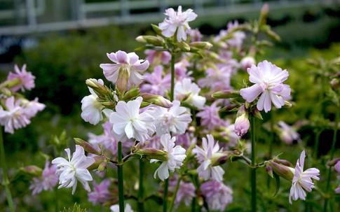 Seifenkraut, rosa gefüllt (Pflanze)