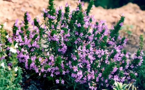 Bergbohnenkraut, violett (Saatgut)