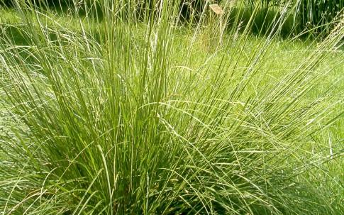 Prärie-Duftgras (Pflanze)