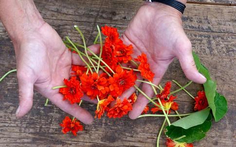 Kapuzinerkresse, gefüllt (Pflanze)