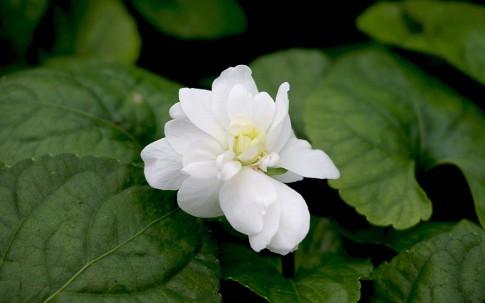 Parmaveilchen, weiß blühend (Pflanze)