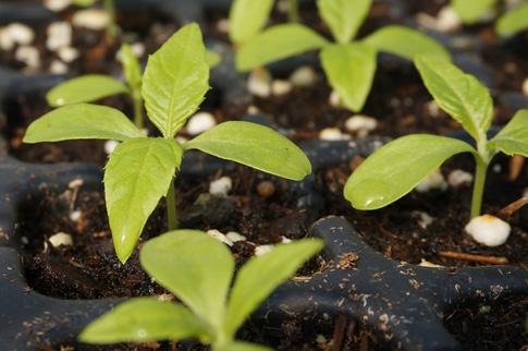 peperomie saatgut peperomia pellucida salatkr uter essbare pflanzen nach verwendung. Black Bedroom Furniture Sets. Home Design Ideas